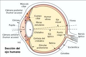 e7c40-eyesection-es
